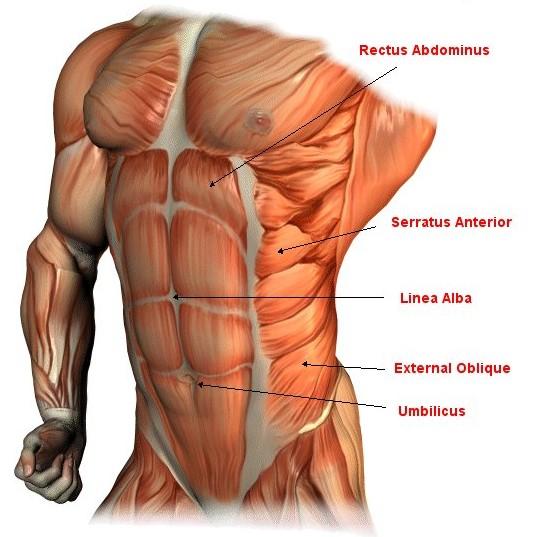 sixpack-anatomie
